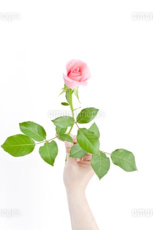 薔薇の花の写真素材 [FYI00040390]