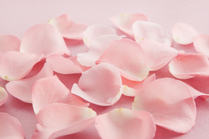 薔薇の花びらの写真素材 [FYI00040391]