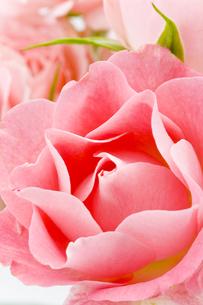 薔薇の花の写真素材 [FYI00040392]
