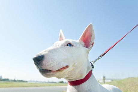 散歩するブルテリア犬の写真素材 [FYI00040492]