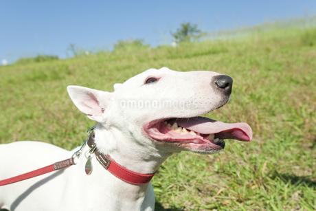 散歩するブルテリア犬の写真素材 [FYI00040500]