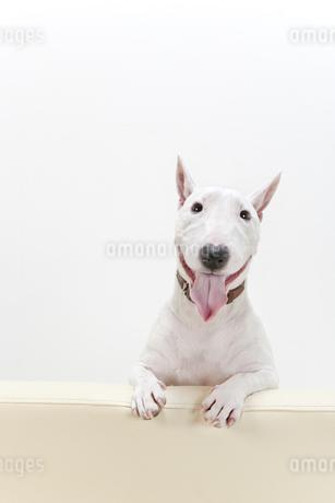 ブルテリア犬の写真素材 [FYI00040502]