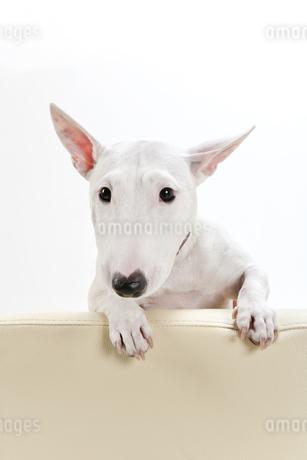 ブルテリア犬の写真素材 [FYI00040510]