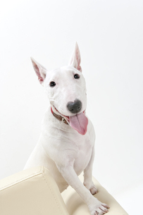 ブルテリア犬の写真素材 [FYI00040511]
