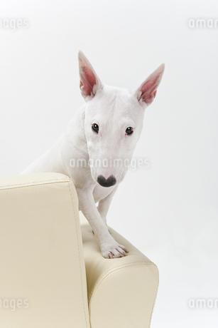 ブルテリア犬の写真素材 [FYI00040515]