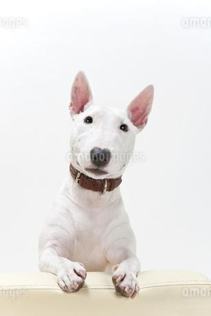 ブルテリア犬の写真素材 [FYI00040518]