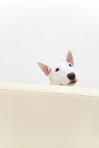 ブルテリア犬の写真素材 [FYI00040520]