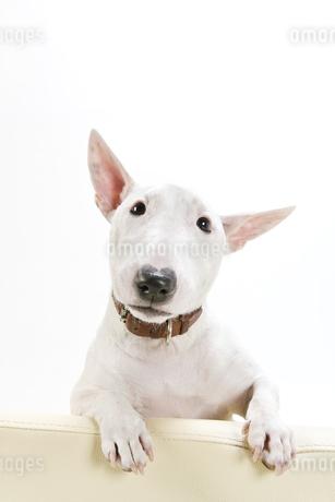 ブルテリア犬の写真素材 [FYI00040521]