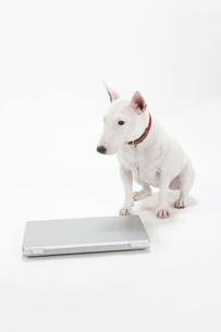 ブルテリア犬の写真素材 [FYI00040523]