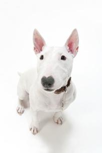 ブルテリア犬の写真素材 [FYI00040524]