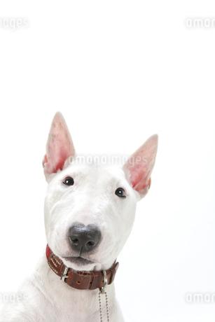 ブルテリア犬の写真素材 [FYI00040525]