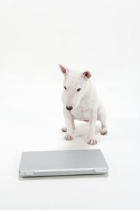 ブルテリア犬の写真素材 [FYI00040526]