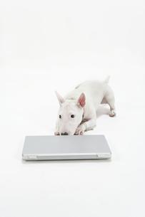 ブルテリア犬の写真素材 [FYI00040528]