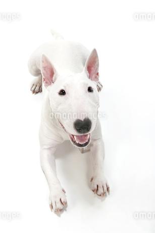 ブルテリア犬の写真素材 [FYI00040529]