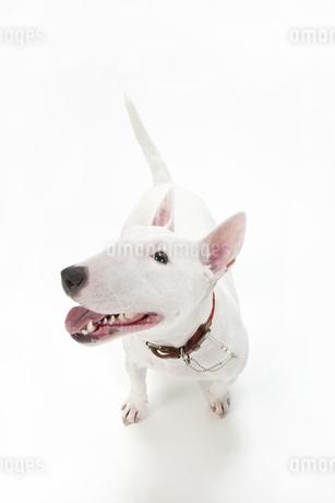 ブルテリア犬の写真素材 [FYI00040531]