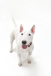 ブルテリア犬の写真素材 [FYI00040533]