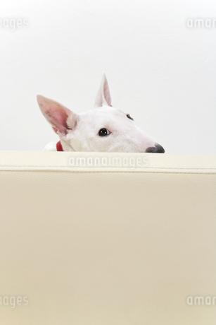ブルテリア犬の写真素材 [FYI00040534]