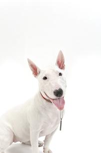 ブルテリア犬の写真素材 [FYI00040536]