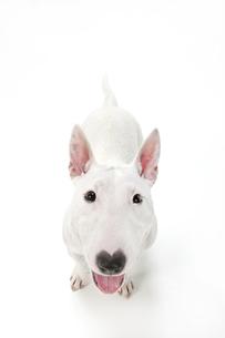 ブルテリア犬の写真素材 [FYI00040544]