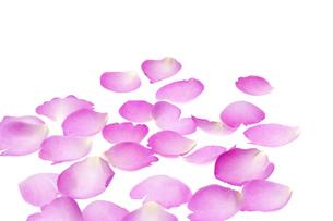 薔薇の花びらの写真素材 [FYI00040824]