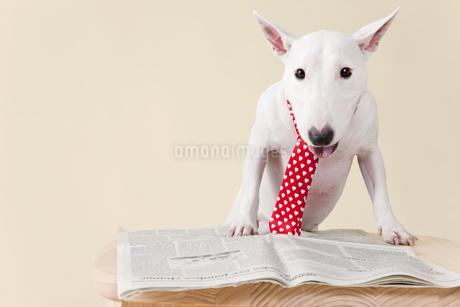 新聞を見つめるブルテリアの写真素材 [FYI00041015]