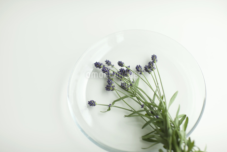 ラベンダーの花の写真素材 [FYI00041619]