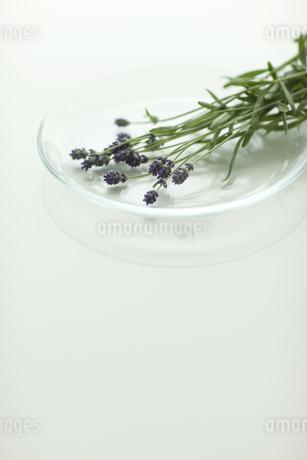 ラベンダーの花の写真素材 [FYI00041624]