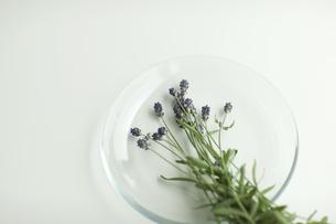 ラベンダーの花の写真素材 [FYI00041626]
