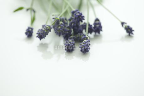 ラベンダーの花の写真素材 [FYI00041635]