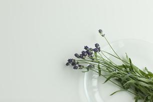 ラベンダーの花の写真素材 [FYI00041636]