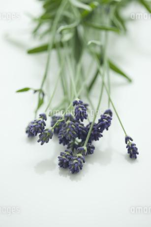 ラベンダーの花の写真素材 [FYI00041641]