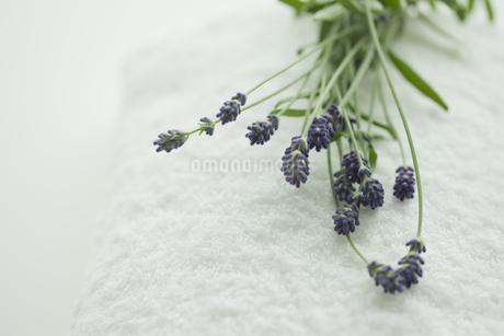 ラベンダーの花の写真素材 [FYI00041662]