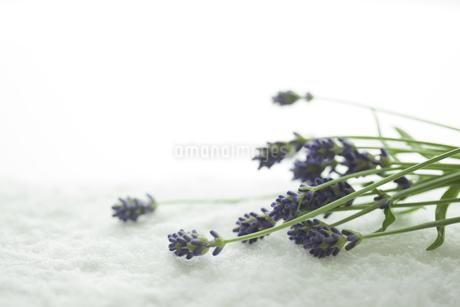 ラベンダーの花の写真素材 [FYI00041663]
