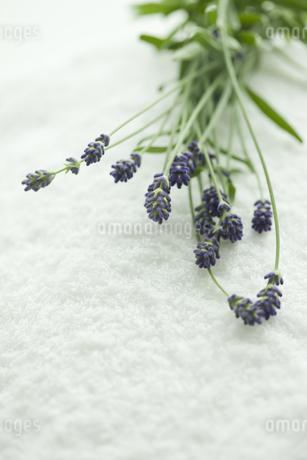 ラベンダーの花の写真素材 [FYI00041677]