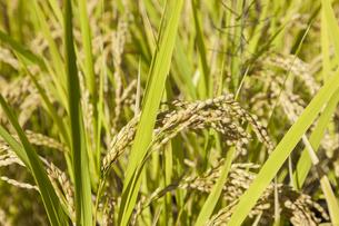 稲作の写真素材 [FYI00041998]