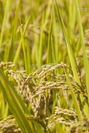 稲作の写真素材 [FYI00042000]
