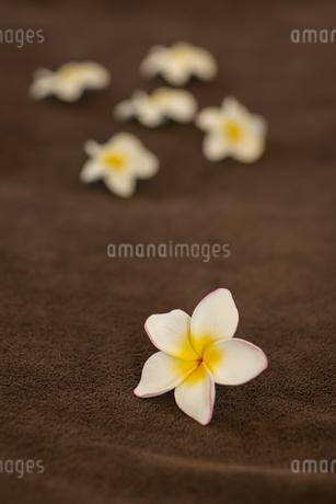 プルメリアの花びらの写真素材 [FYI00042001]