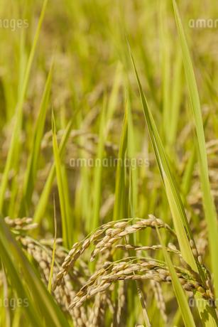 稲作の写真素材 [FYI00042005]