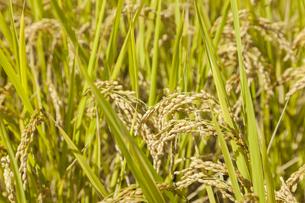 稲作の写真素材 [FYI00042006]