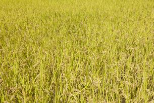 稲作の写真素材 [FYI00042008]