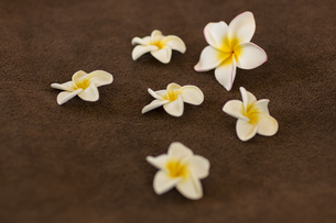プルメリアの花びらの写真素材 [FYI00042009]