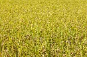 稲作の写真素材 [FYI00042015]