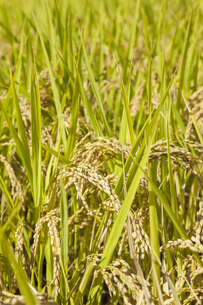 稲作の写真素材 [FYI00042019]
