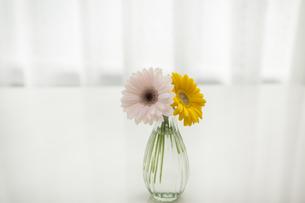 ガーベラの花の写真素材 [FYI00042076]