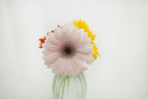 ガーベラの花の写真素材 [FYI00042078]