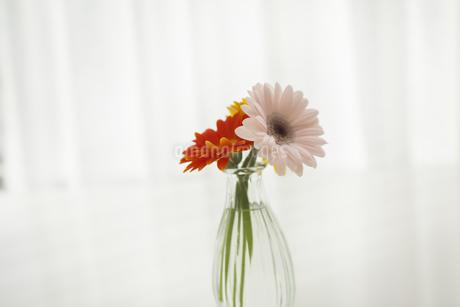 ガーベラの花の写真素材 [FYI00042081]