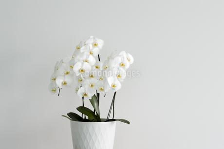 コチョウランの花の写真素材 [FYI00042312]