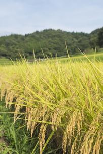 稲作の写真素材 [FYI00042319]
