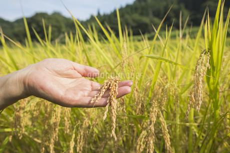 稲作の写真素材 [FYI00042328]