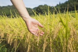 稲作の写真素材 [FYI00042329]